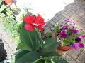 Продам канну -комнатное растение-летом высаживать в грунт