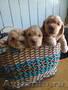 Лучшие щенки кокер-спаниеля в Магнитогорске